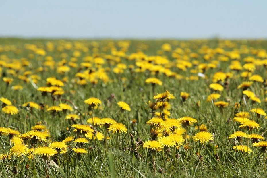 Dandelion Field - I dare you not to laugh.