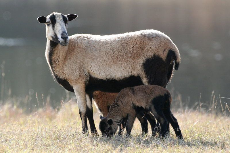 black-belly-sheep